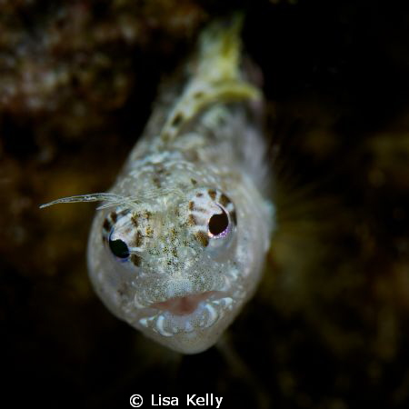 An inquisitive Blenny coming out of his hole to check me ... by Lisa Kelly