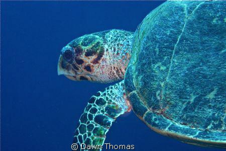 Hawksbill Turtle off Yolanda Reef, Red Sea. by Dawn Thomas