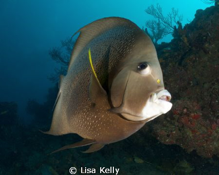 This French Angelfish was very curious about what I was d... by Lisa Kelly