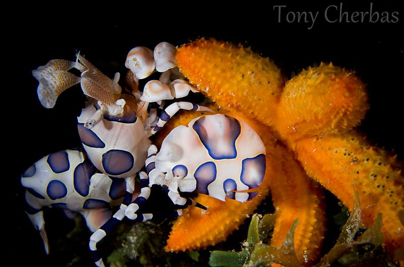 The Kidnapping: A Harlequin Shrimp drags a juvenile Sea S... by Tony Cherbas 