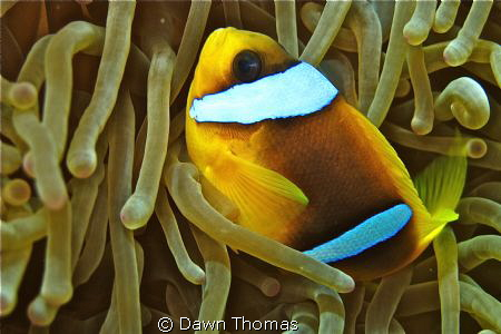 Anemone fish at home. by Dawn Thomas