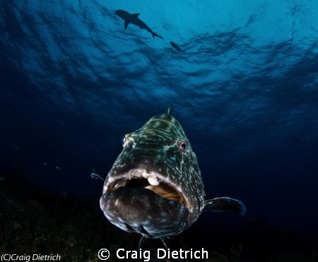 This is Max! A giant Bahama Grouper. This was taken with ... by Craig Dietrich