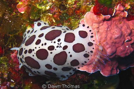 Two types of nudibranch in one shot - the Spotted Chromod... by Dawn Thomas