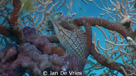 longnose hawkfish foto made with jvc camcorder by Jan De Vries