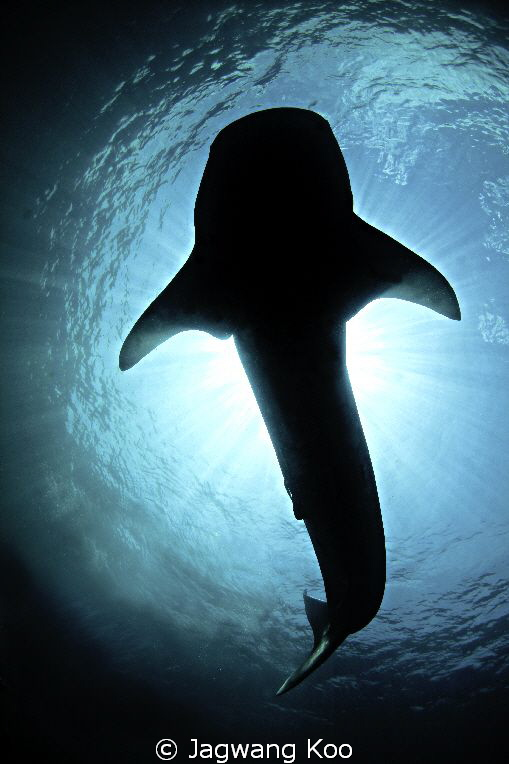 whale shark by Jagwang Koo