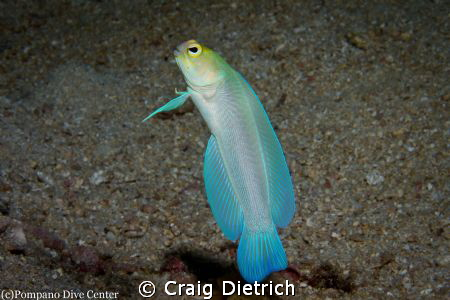 Yellowhead Jawfish dancing in front of me. These little g... by Craig Dietrich