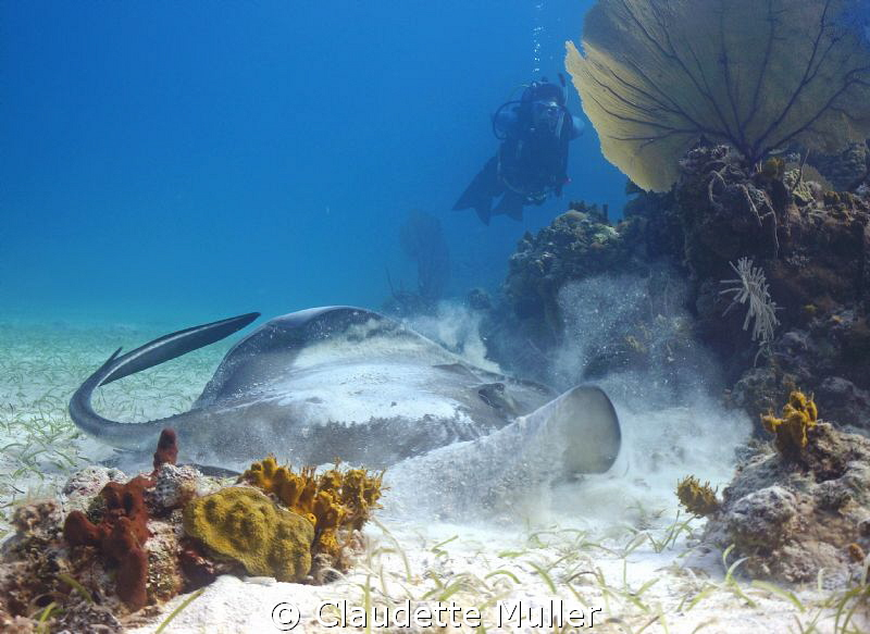 This is a large southern ray. I managed to move very clos... by Claudette Muller