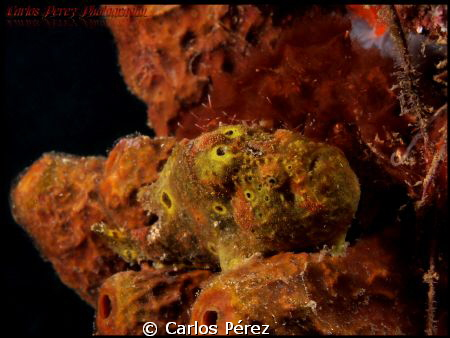 Juvenile frog manuflage.. by Carlos Pérez