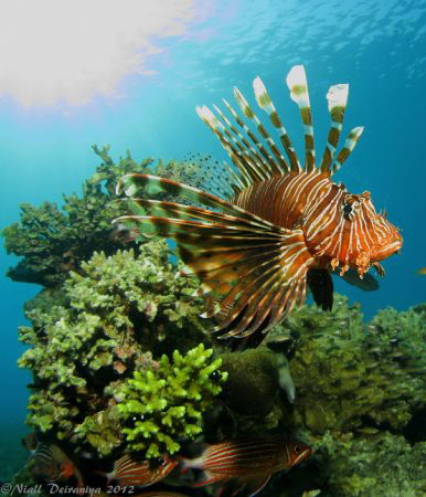 Lionfish displaying spines checking out his reflection in... by Niall Deiraniya
