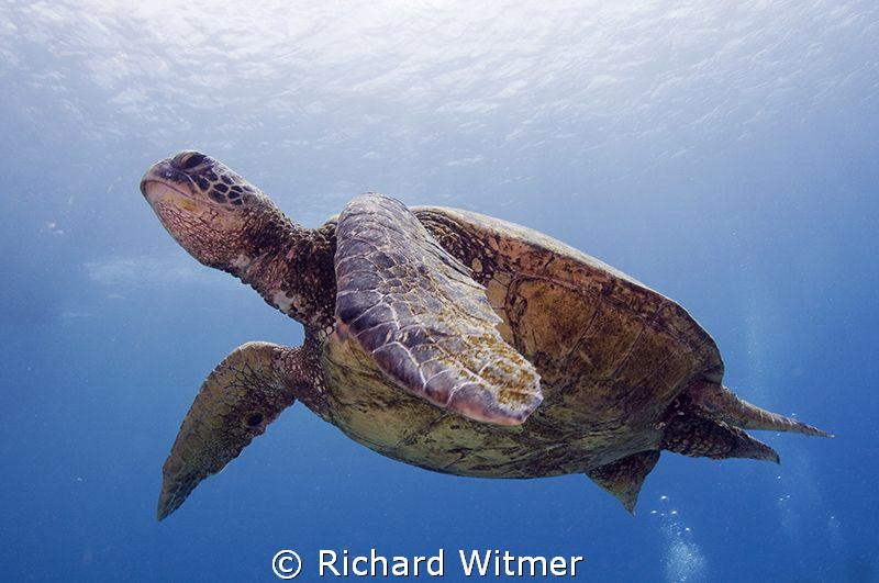Turtle in Hawaii.  Tokina 10-17. by Richard Witmer