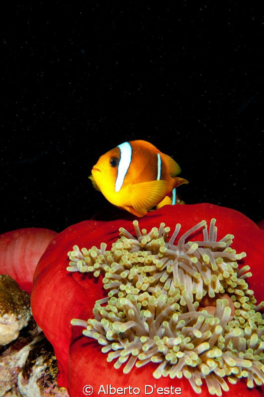 clawn & red anemone by Alberto D'este