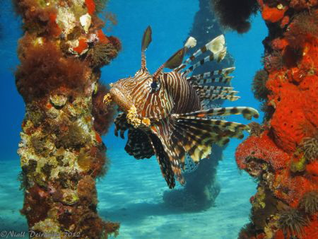 Lion fish approaching between the legs of a red sponge co... by Niall Deiraniya