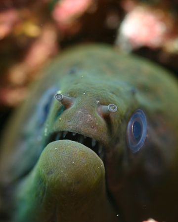 Maury, the great green moray. Wakatobi Indonesia, August ... by Michael Canzoniero