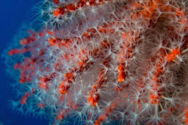 Corallium rubrum from Cape Palinuro by Marco Gargiulo