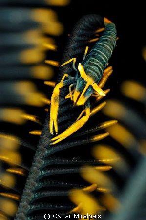 Comensal shrimp Nikon d70 + Nikkor 105 by Oscar Miralpeix