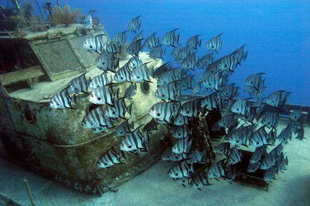 Spadefish schooling around David Tucker Wreck in New Prov... by Sally Thomson