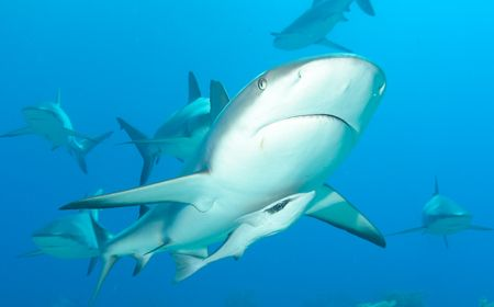 Caribbean Reef Shark in New Providence, Bahamas. Taken wi... by Sally Thomson