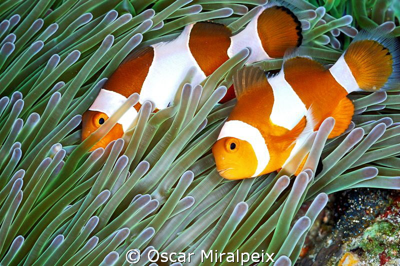Couple of clownfishes  by Oscar Miralpeix