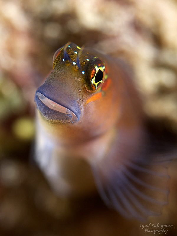 Blenny...  Nikon D800e, 60 mm macro lens, +15 wet diopte... by Iyad Suleyman