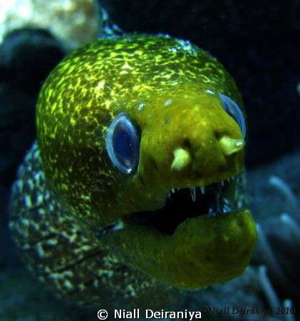 Very close up wide angle shot of a very green faced moray... by Niall Deiraniya
