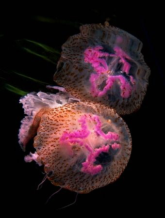 Reflections of a Pelagia noctiluca by Roland Bach