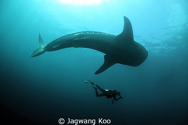 Whale Shark and Diver by Jagwang Koo