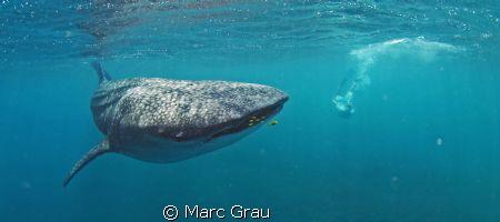Whale-Shark amd snorkeller in Djibouti, Arta Beach by Marc Grau