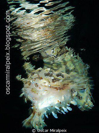 Sargasum frogfish by Oscar Miralpeix