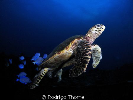 Turtle in Recife - Brasil. by Rodrigo Thome