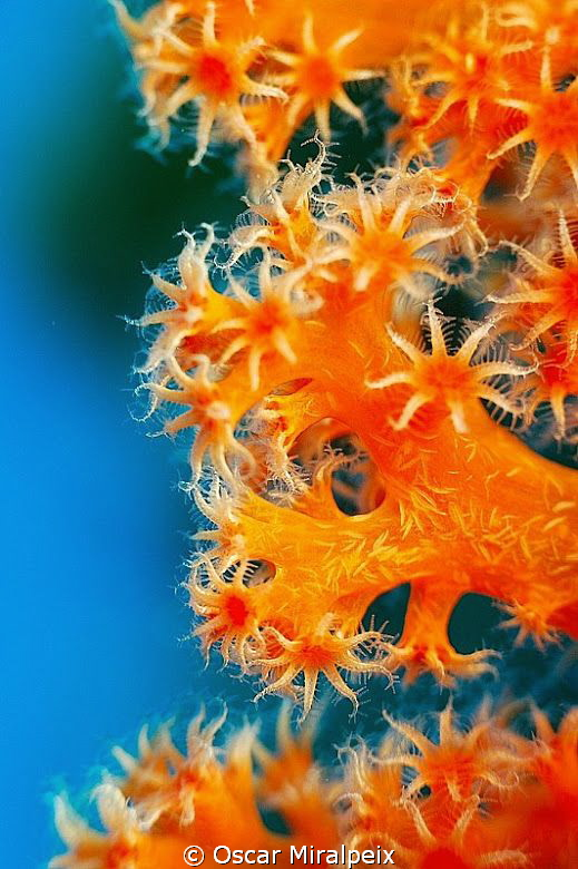 CORAL BEAUTY orange and blue contrast by Oscar Miralpeix