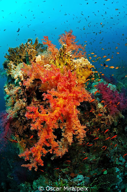 Red Sea soft coral Nikon d70s Tokina 10-17 by Oscar Miralpeix