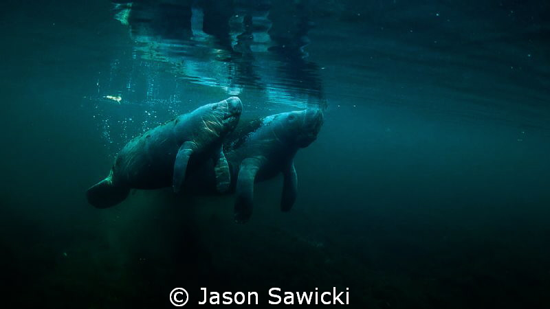 Manatee Cow and Calf by Jason Sawicki