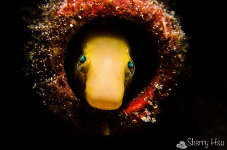 Blenny @ Lembeh Strait by Sherry Hsu