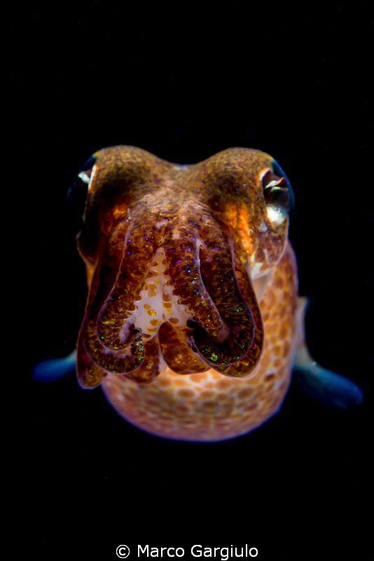 Sepiola rondeleti - dwarf cuttlefish - night dive   by Marco Gargiulo
