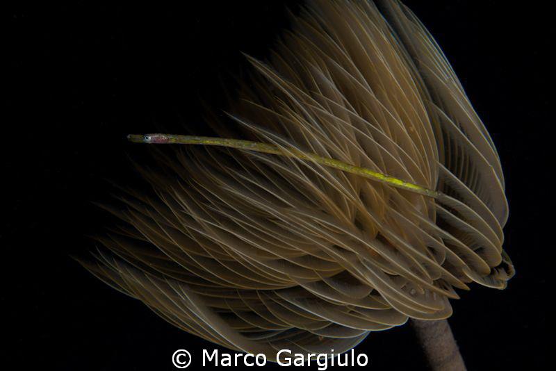 small mediterranean pipefish into a tube worm by Marco Gargiulo