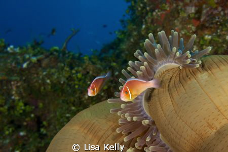 Clown fish in the late afternoon as their anemone is clos... by Lisa Kelly