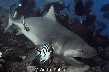 bull shark by Andre Philip