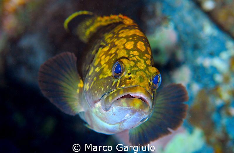 Little Mediterranean Grouper by Marco Gargiulo