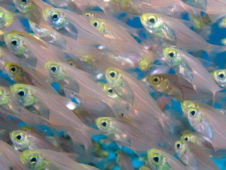 Glass fish on a reef in the Red Sea by Graham Watters