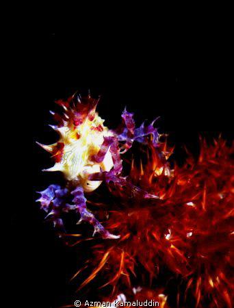 Candy Crab by Azman Kamaluddin