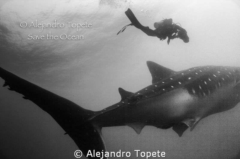 Whale Shark and videographer,Galapagos Ecuador by Alejandro Topete