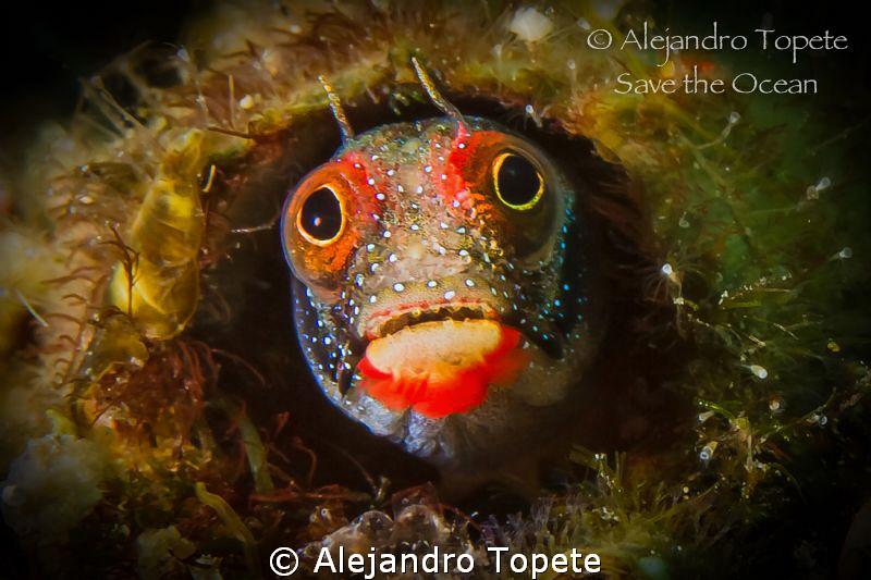 Funny Blenny, Acapulco Mexico by Alejandro Topete
