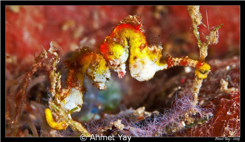Pontohi Pigmy Seahorse Manado, Budo-1 Canon 40 D - Cano... by Ahmet Yay