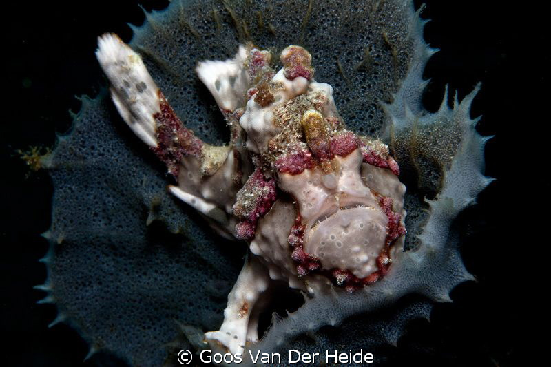 Small Warty Frogfish in a sponge by Goos Van Der Heide