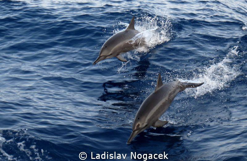 Dolphins by Ladislav Nogacek