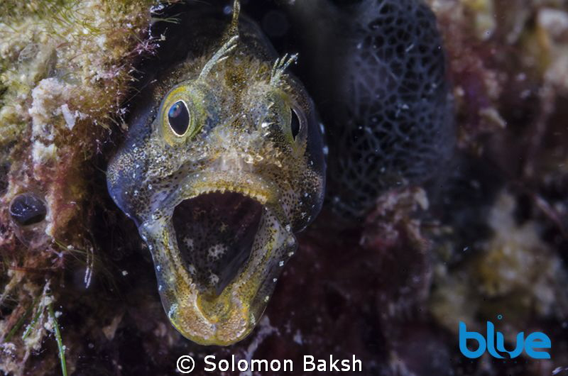 Secretary Blenny at 25 feet on Chacachacare island, Trini... by Solomon Baksh