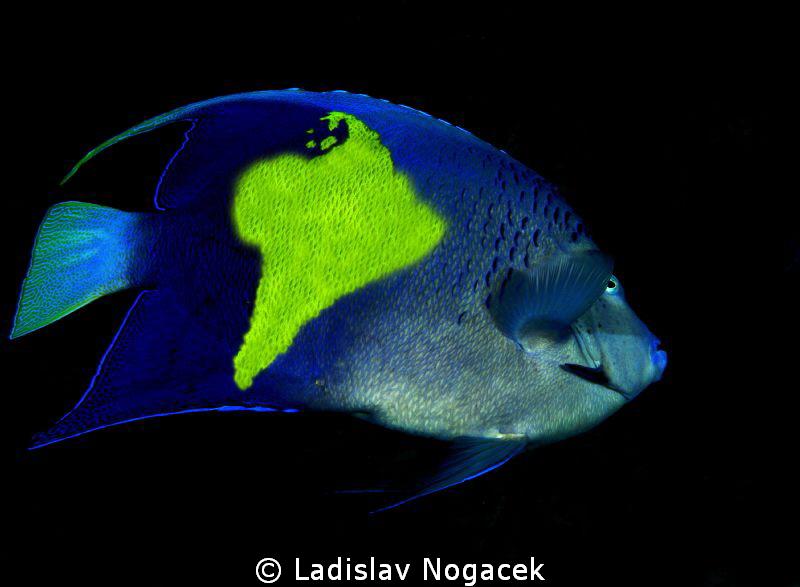 Angel Fish on trip to South Amerika by Ladislav Nogacek