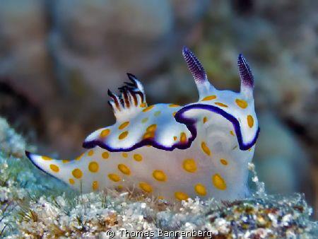 Hypselodoris ghardaqana  Sea&Sea DX-1G, Settings: f6.3,... by Thomas Bannenberg