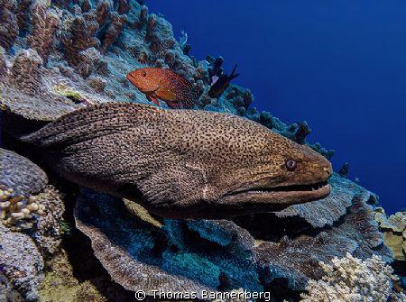 Giant Moray Eel (Gymnothorax javanicus)  Sea&Sea DX-1G,... by Thomas Bannenberg