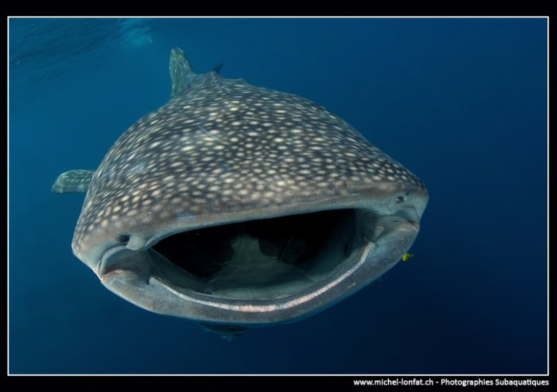 Whale Shark filtering... by Michel Lonfat